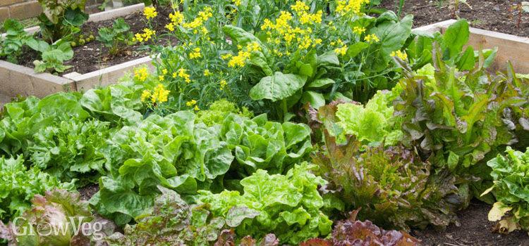 Lettuces Tasty Varieties, Edible Flowers
