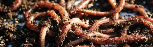 Worm Red Wiggler Eisenia Foetida Castings