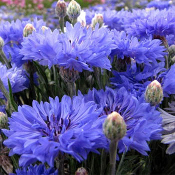 Flower Bees Bachelor's Button Companion Plant Blue