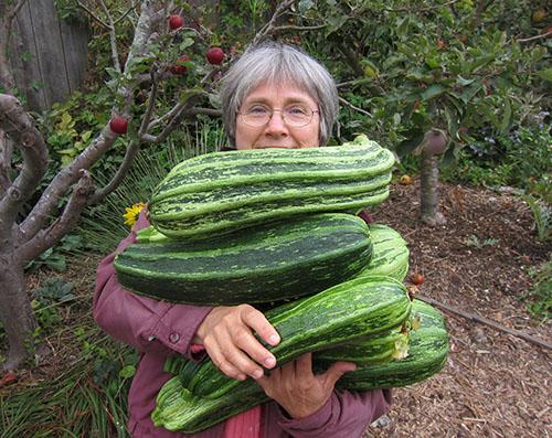 Zucchini Costata Romanesco Kelly Armful Harvest Annie's Annuals