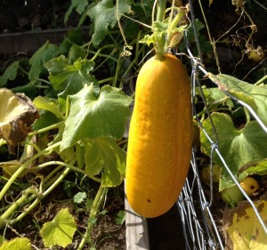 Cucumber Yellow, Ready for SeedSaving