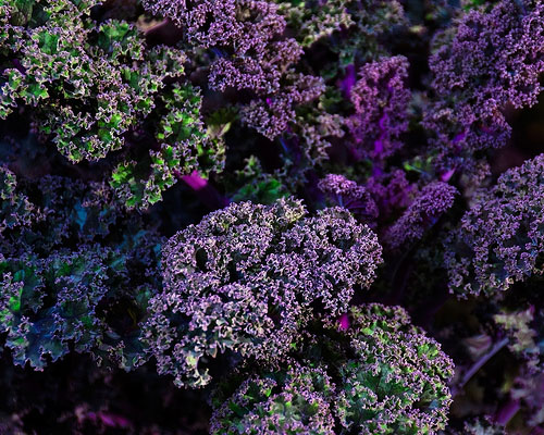 Gorgeous Kale - Purple Curly Leaf