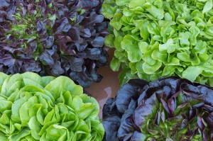 Lettuce Salanova Dense, Loves Fall & Winter