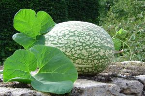 Fig Leaf Squash, Chilacayote ~ Cucurbita ficifolia, a Mexican cuisine favorite!