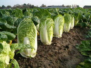 Chinese or Napa Cabbage - Green
