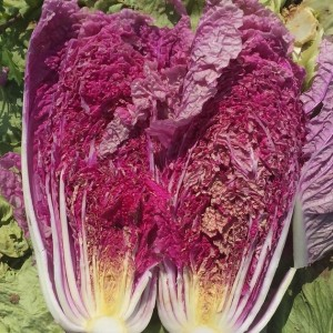 Chinese or Napa Cabbage Scarlette F1 Red
