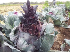 Red Cabbage bolting in second year