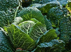 Earth tasting Savoy Cabbage bursting with health and nutrition!