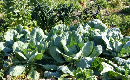 Huge Cabbages grown by the Cunningham Family at Pilgrim Terrace Community Garden 2016!