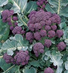 Early Purple Sprouting Broccoli, English Heirloom