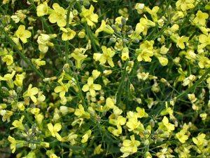 Broccoli Bright Beautiful Edible Flowers