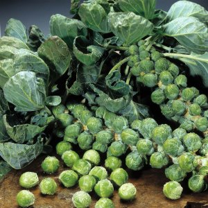 Brussels Sprouts, like mini Cabbages. Brassica