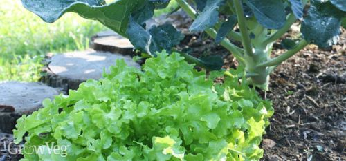 Companion Plants Broccoli Lettuce repel Cabbage Moth