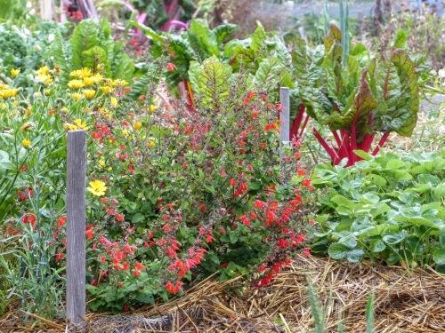 Calendula Biodiversity Companion Plant Sage Strawberry Chard