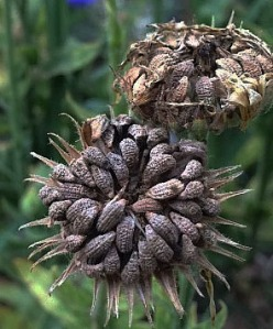 Herb Calendula Seed Heads