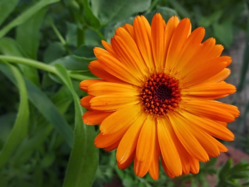 Orange Calendula Flower at Pilgrim Terrace Community Garden