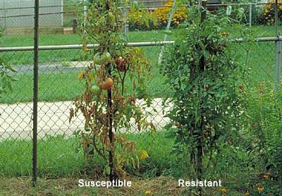 Disease Tomato Fusarium Wilt Fungi Resistant