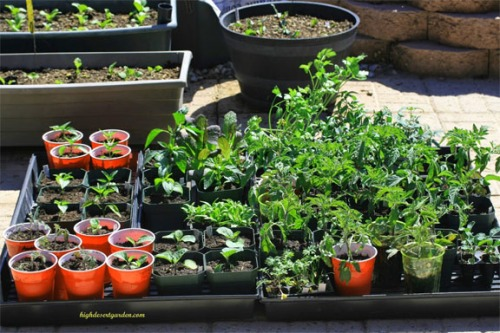 March Seedlings at HighDesertGarden
