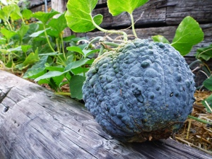 Japanese Winter Squash Black Futsu
