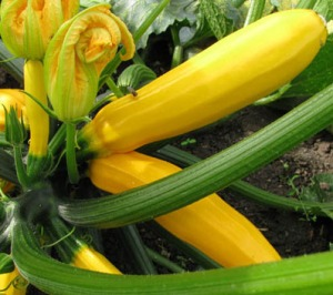 Zucchini Summer Squash Yellow
