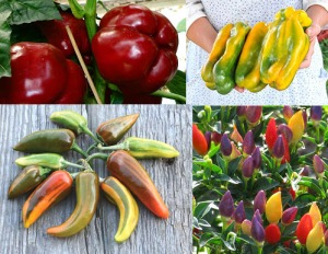 Peppers Varieties - Burgundy Bell, Yellow Monsters, Fish, HOT Chile Numex Twilight