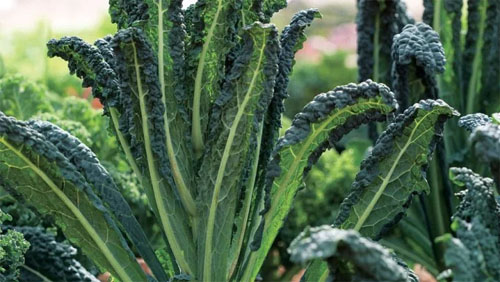 Lacinato Kale, aka Tuscan, Black or Dinosaur, is a zesty and nutritious grower!