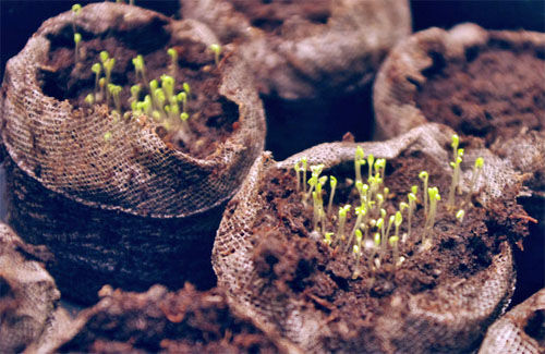 Delicate Chamomile, Anthemis, Seedlings need protection from slugs, snails, and birds!