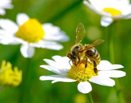 German Chamomile Herb Bee Flower
