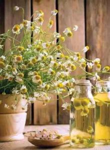 Chamomile Herb Medicinal