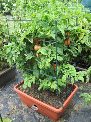 Tomato Bush Determinate in Container Cage