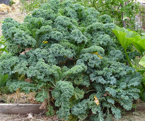 Curly Leaf Kale Branching into Bush form!