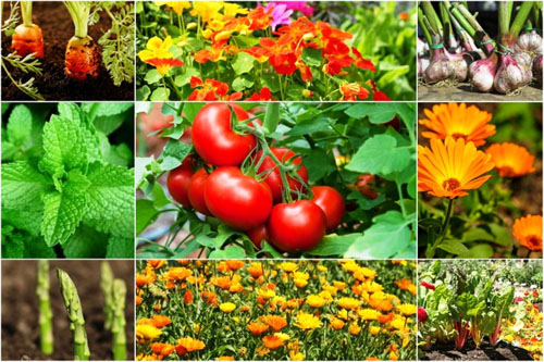 Delicious Companion Plants to grow with Tomatoes!