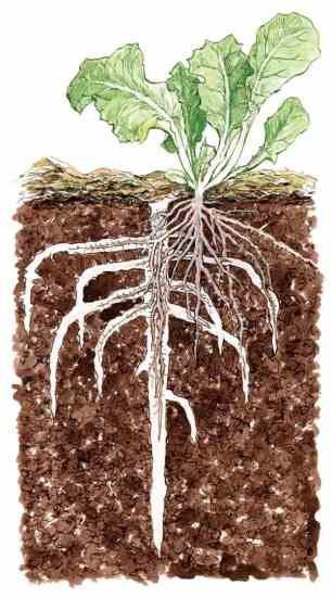 Cover Crop Root Channels for New Plant Roots Bio-drilling