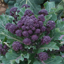 Super Productive Purple Sprouting Broccoli!