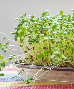 Broccoli Sprouts by Getty