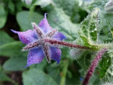 Single Herb Borage, StarFlower, flowers can be blue AND pink!