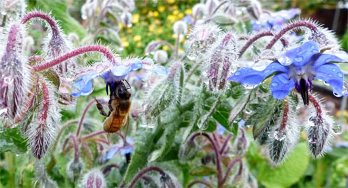 The lovey blue Borage, StarFlower, herb flowers are Bees' favorite color!