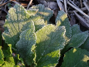 Herb Borage, StarFlower, is fairly hardy. Frosted foliage!