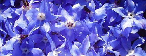 Herb Borage StarFlower Stunning Flowers! Blue for Bees!