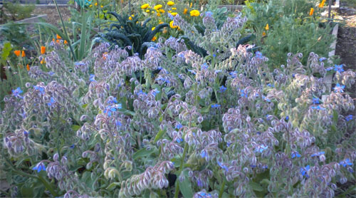 Beautiful Borage Herb Plant in full blue bloom!