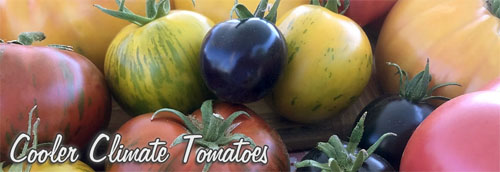 Cold Tolerant Tomatoes, Early Heirlooms!