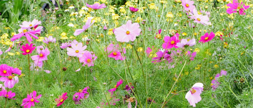 Pollinator Plant Cosmos Drought Tolerant Long Season Ca Native Bees