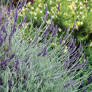 Pollinator PLant Goodwin Creek lavender, Lavandula × ginginsii 'Goodwin Creek Grey' Heat Drought Tolerant Long Season