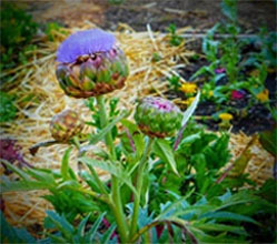 Artichoke Bud to Blooms Sequence