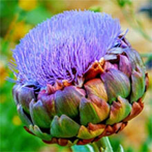 Artichoke Brilliant Purple Bloom - Thistle Family