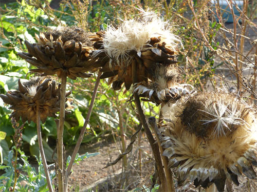 Artichoke Dried Flowers ready for SeedSaving