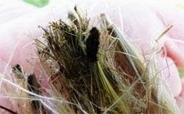 Artichoke Flower Tufts are Still Green