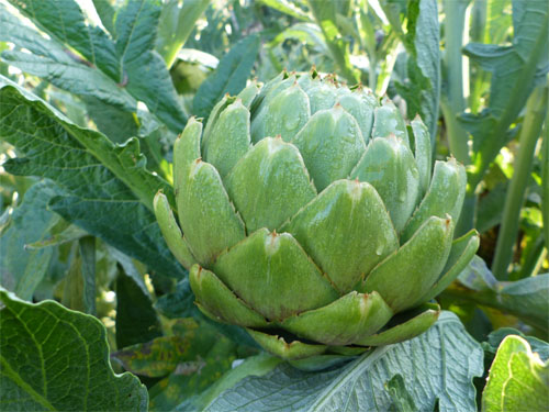 Splendid Artichoke Fruit!