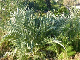 Artichokes Abandoned in Fall return after spring rains!