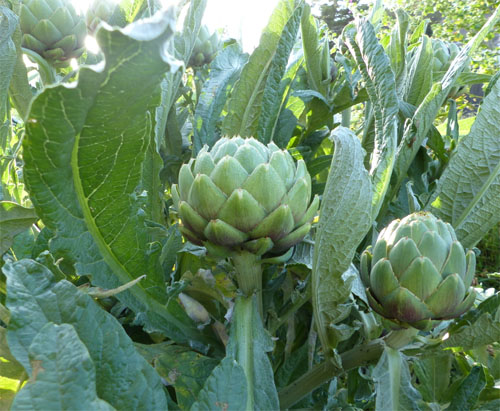 When Your Artichokes are Harvest Ready